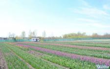 На Буковині розцвіло тюльпанове поле (фото)