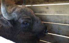 На Буковину з зоопарку передали самицю зубра на прізвисько